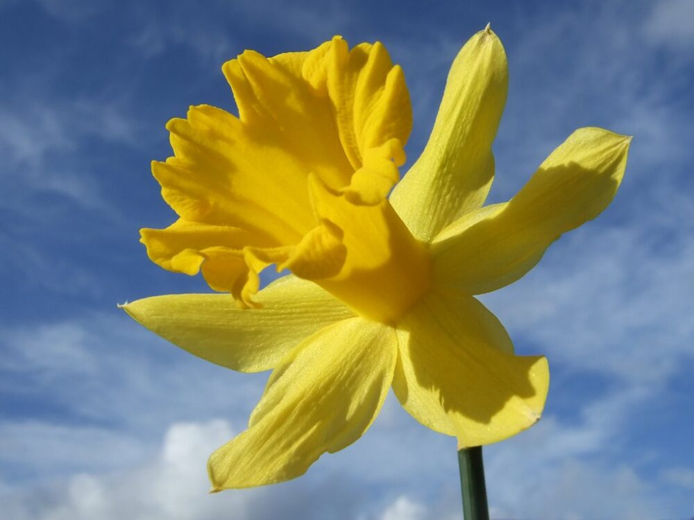 daffodil-photo-1378482